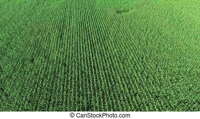 corn field aerial view - green corn field aerial view
