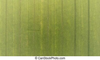 Green corn field circular aerial shot Plows lines and...