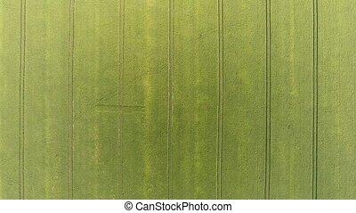 Green corn field circular aerial shot Plows lines and...