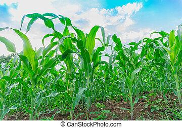 Green corn field in agricultural garden