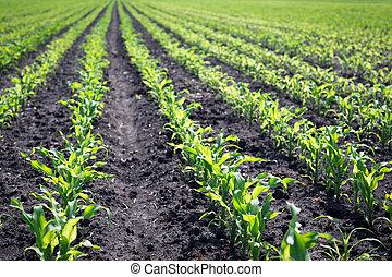 Green corn field in spring