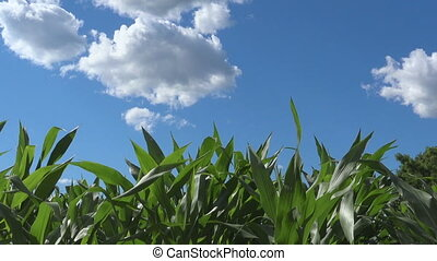 Green corn field, organic food and agriculture farming -...