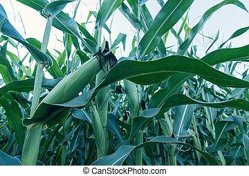 Green corn field.