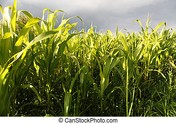 A green field of corn growing up