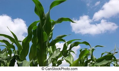 Green corn plants
