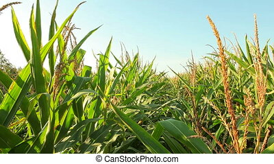 Green corn plants in agricultural field
