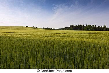 Green cornfield in spring