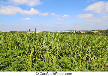 Green Cornfield on a sunny summer day