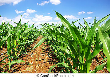 Green cornfield -  Green cornfield at Portugal.