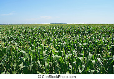 Green cornfield under the blue sky