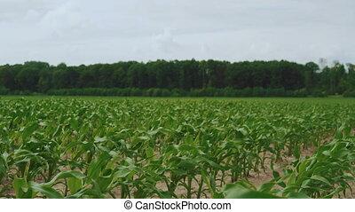 Green cornstalks waving from the wind on the fields in 4K.