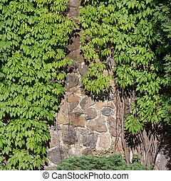 Green creeper on the old wall