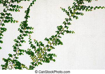 Green creeper on white wall