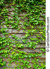 Green creeper on wooden wall for background