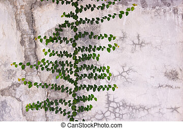 Green Creeper Plant growing on cement wall