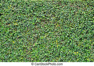Green Creeper Plant on a Wall for home design background