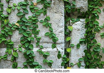 green creeper plant on wall