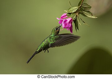 Green-crowned brilliant, heliodoxa jacula, feeding in flight from a blooming flower head. Tiny green hummingbird hovering in the air with wings. Tropical animal wildlife.