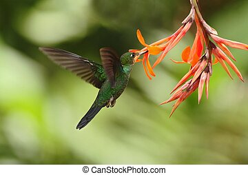 Green-crowned Brilliant, Heliodoxa jacula, hovering next to orange flower, bird from mountain tropical forest, Waterfall Gardens La Paz, Costa Rica, beautiful hummingbird sucking nectar from blossom