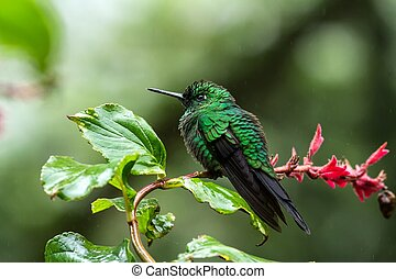 Green-crowned Brilliant Heliodoxa jacula sitting on branch, mountain tropical forest, Waterfalls garden, Costa Rica, bird perching on branch, tiny beautiful blue hummingbird in natural habitat, flower