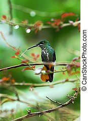 Green-crowned brilliant, Heliodoxa jacula sitting on leave, bird from mountain tropical forest, Panama, bird perching on leave, clear green background, resting hummingbird in natural environment, wild