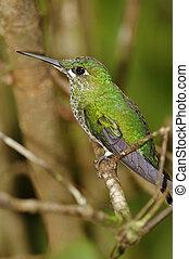 Green-crowned Brilliant Hummingbird, Costa Rica