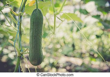green cucumbers grown in a greenhouse on an organic farm