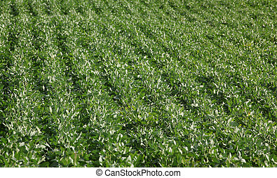 Green cultivated soy bean field in early summer