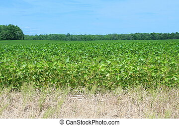 Green cultivated soy field