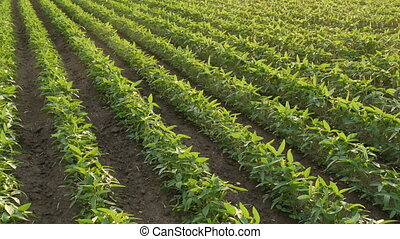 Green cultivated soybean plants in field - Agriculture,...