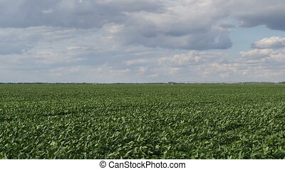 Green cultivated soybean plants in field - Green cultivated...