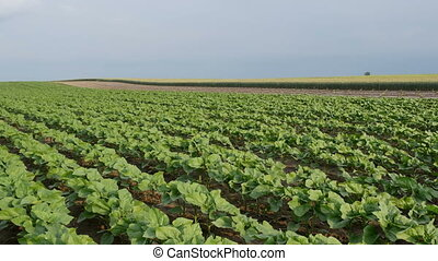 Green cultivated sunflower plants in field, spring time
