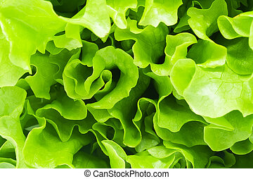 Lettuce - Green curvy leaves of fresh Lettuce salad