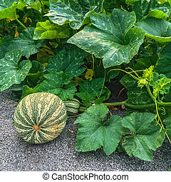 Green Cushaw squash in autumn garden