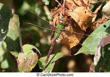 Green Darner Dragonfly Anax junius warming on sun on dead...