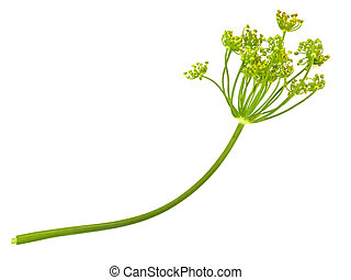 green dill at the white background