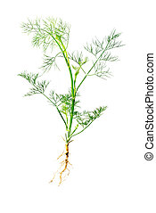 Green dill with root isolated on white background. Studio macro
