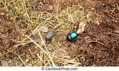 Green dor beetle crawls on ground in forest out of frame