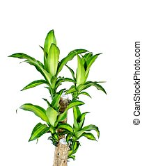 green dracaena fragrans cornstalk dracaena isolated on a...