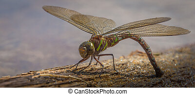 Green dragonfly relaxing in the sun