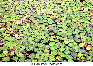 Green Duckweed natural background on water in a polluted water