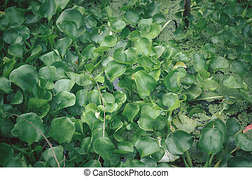 Green Duckweed Plants and Water hyacinth for wastewater nutrient recovery.