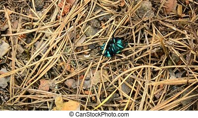 Green dung beetle crawls in forest
