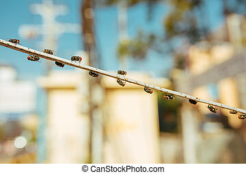 Green dung Flies with red eyes sitting on a wire
