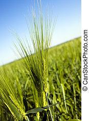 Green ear of barley