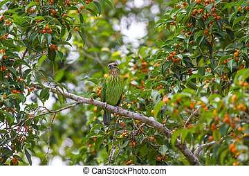 Green-eared Barbet bird in nature