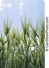 Green ears of barley