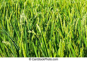 Green ears of rice