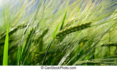 Green ears of rye are swaying in wind. close-up