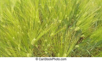 green ears of wheat close-up